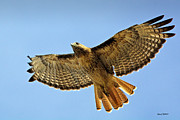 Stephen  Johnson - Red Tail Hawk Circling...
