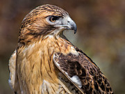 National Symbol Photos - Red Tail Hawk by Dale Kincaid