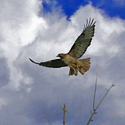 Tail Digital Art Posters - Red Tail Hawk Digital Freehand Painting 1 Poster by Ernie Echols