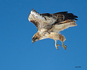 Stephen  Johnson - Red Tail Hawk Dropping...