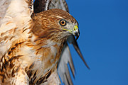 Fuad Azmat - Red Tail Hawk