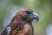 Canon 70-200 Posters - Red Tail Hawk Poster by John Haldane