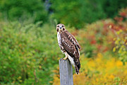Red Tail Hawk Photographs Posters - Red Tail Hawk Poster by Michael Allen