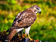 Red Tail Hawk Photographs Posters - Red Tail Hawk Poster by Michael Toy
