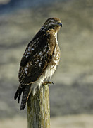 Red Tail Hawk Photo Posters - Red tail Hawk On A Post Poster by David Marr