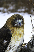 Falconers.  Metal Prints - Red Tail Hawk on the prowl Metal Print by LeeAnn McLaneGoetz McLaneGoetzStudioLLCcom