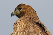 Red Tail Hawk Photographs Posters - Red Tail Hawk Portrait Poster by Paul Marto