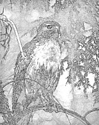 Pencil Sketch Mixed Media Prints - Red Tail Hawk Sketch Print by Peter Gray