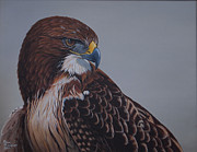 Red Tail Hawk Paintings - Red Tail Hawk Study by Ron Plaizier