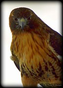 Terri K Designs - Red Tail Hawk