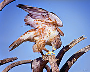 Red Tail Hawk Photo Posters - Red Tail Hawk Poster by Van Allen Photography