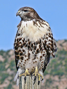 Hawk Metal Prints - Red Tail Hawk Youth Metal Print by Jennie Marie Schell