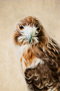 Hawk Prints - Red Tail Portrait Print by Bill  Wakeley