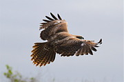 Red Tail Hawk Photographs Posters - Red Tail Take Off Poster by Paul Marto