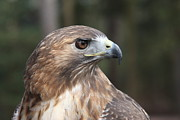 Danielle Gareau - Red Tailed Hawk 2