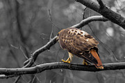 Jahred Klahre - Red tailed Hawk 2