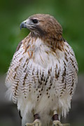 On Paper Photos - Red Tailed Hawk 279 by Joyce StJames