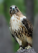 On Paper Photos - Red Tailed Hawk 282 by Joyce StJames