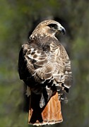 Red-tailed Hawk Prints Posters - Red Tailed Hawk 289 Poster by Joyce StJames