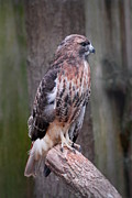 Red-tailed Hawk Prints Posters - Red Tailed Hawk 290 Poster by Joyce StJames