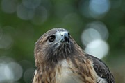 Red-tailed Hawk Prints Posters - Red Tailed Hawk 297 Poster by Joyce StJames