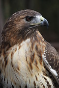 Danielle Gareau - Red Tailed Hawk 3