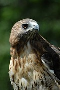 Red-tailed Hawk Prints Posters - Red Tailed Hawk 301 Poster by Joyce StJames