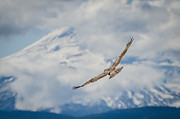 Red-tailed Hawk Prints Posters - Red Tailed Hawk and Mount Hood Poster by Puget  Exposure