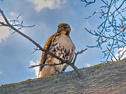 Red Tail Hawk Art - Red-Tailed Hawk by C H Apperson