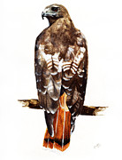 Spirit Hawk Art Framed Prints - Red Tailed Hawk Framed Print by Carlo Ghirardelli