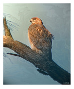 Drawing Prints Photo Originals - Red Tailed Hawk by Curtis Chapline