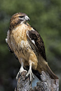 Perched Posters - Red Tailed Hawk Poster by Dale Kincaid