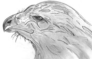 Elizabeth Briggs - Red-Tailed Hawk Drawing