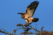 Elka Lange - Red-tailed Hawk