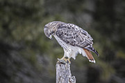 Gary Hall - Red-tailed Hawk