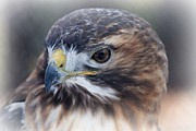 Lisa Hurylovich - Red Tailed Hawk I
