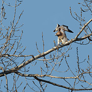 Redtail Hawk Art - Red Tailed Hawk In The Trees by Bill  Wakeley