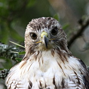Travis Truelove Photography Prints - Red-tailed Hawk is a Prince Print by Travis Truelove