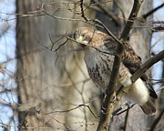 Ohio Red Framed Prints - Red Tailed Hawk Framed Print by Jack Schultz