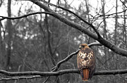Jahred Klahre - Red tailed hawk