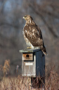 Jeannette Hunt - Red-Tailed Hawk