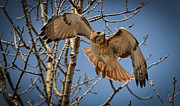 Prairie Chicken Posters - Red Tailed Hawk Poster by Julie Palencia