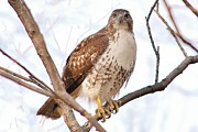 Joy Bradley                   DiNardo Designs  - Red-tailed Hawk  Juvenile