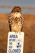 Red Tailed Hawk Lower Klamath National Wildlife Refuge Northern California Print by Ram Vasudev