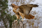 Red-tailed Hawk Prints Posters - Red-Tailed Hawk Poster by Martin Belan