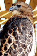 Flying Rats Framed Prints - Red tailed Hawk  Framed Print by Michael P Ray