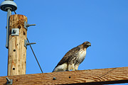 Eric Nielsen - Red-Tailed Hawk On A...