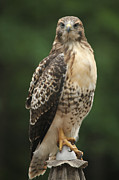 John Kees - Red Tailed Hawk on...