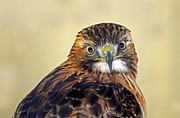 Rodney Campbell - Red Tailed Hawk Portrait...