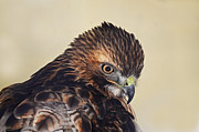Rodney Campbell - Red Tailed Hawk Portrait